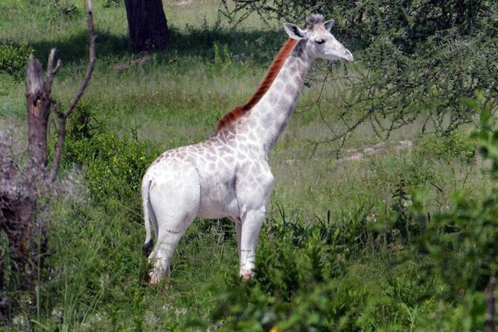 Resultat d'imatges de como la jirafa blanca